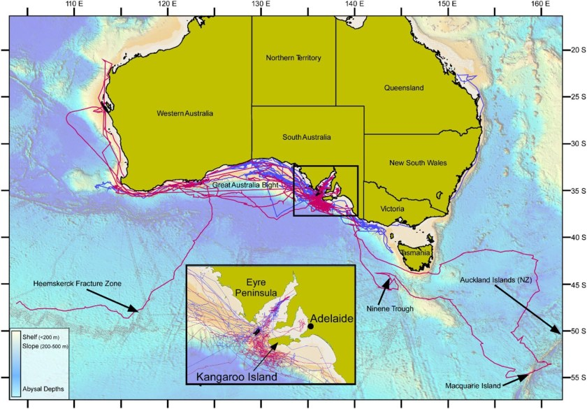 Combined tracks of white sharks tagged in south-western Australian waters with female sharks in red, male sharks in blue and sharks of unknown sex in black.