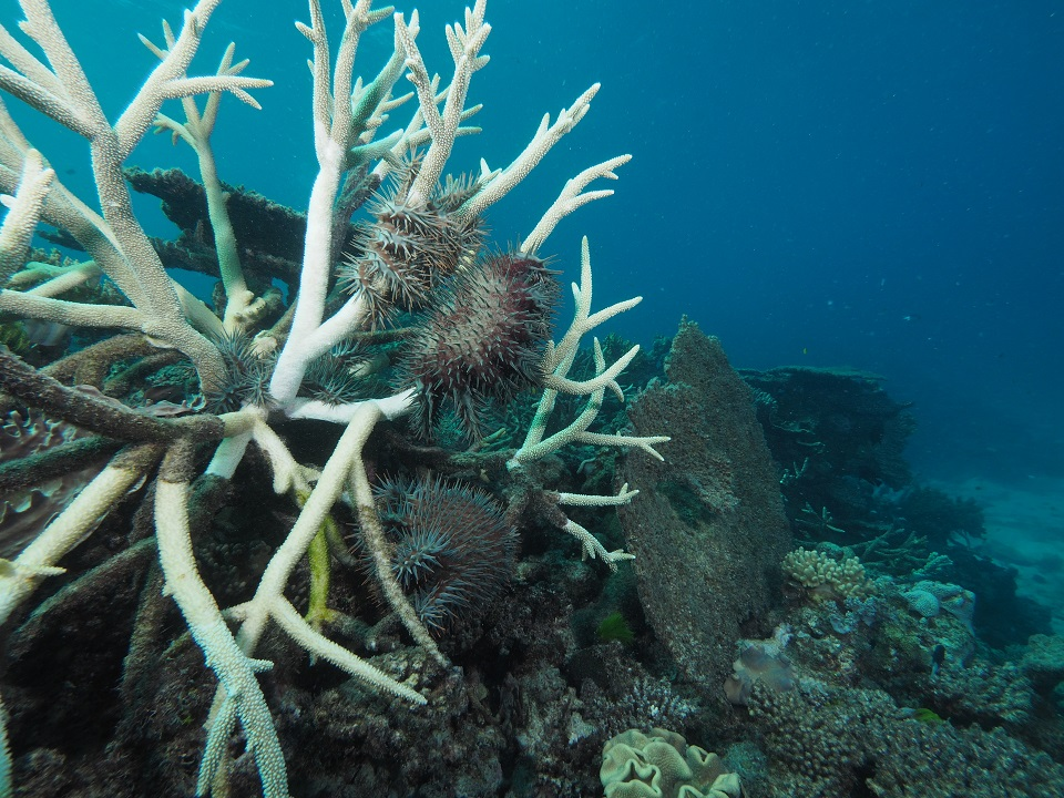 White coral with crown-of-thorns starfish on it