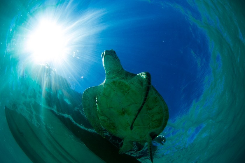 Turtle at Ningaloo Reef from underneath