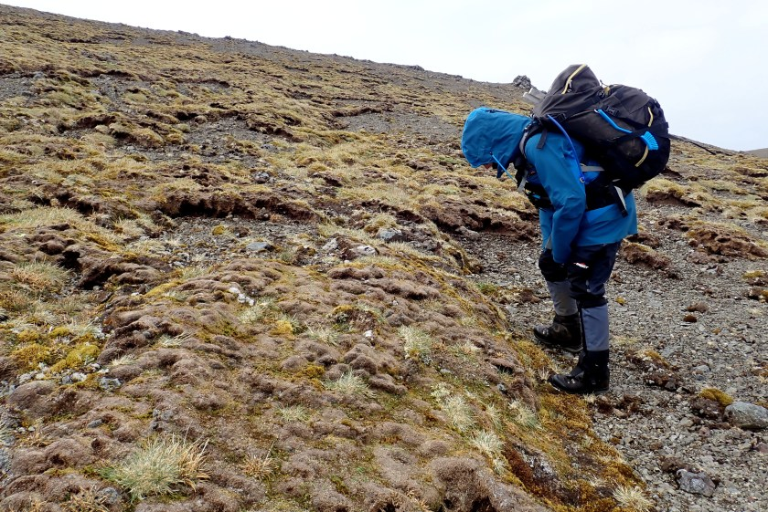 The pathogen-affected Macquarie cushion plant looking brown and dead on Macquarie Island, halfway between New Zealand and Antarctica. Image by Cath Dickson