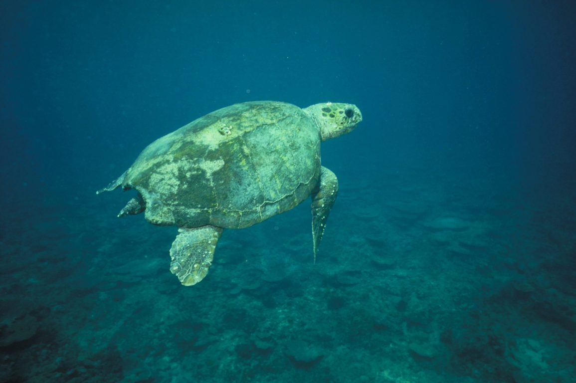 Close-up shot of a Loggerhead turtle with barnacles on its shell swimming over coral reefs.