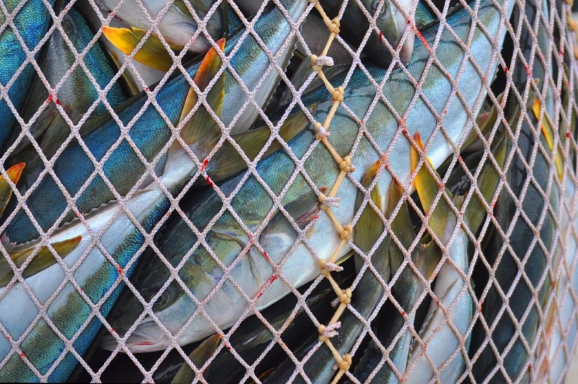close up of multiple fish caught in a net