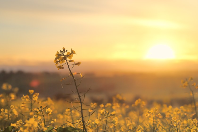 Sunrise over a field of canola
