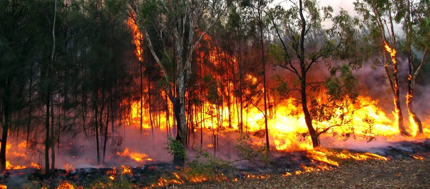A raging Australian bushfire with large flames against a green forest. Image/Flickr