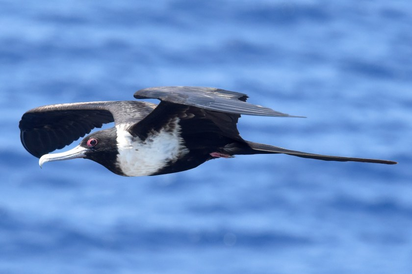 A black and white seabird flying over the ocean.