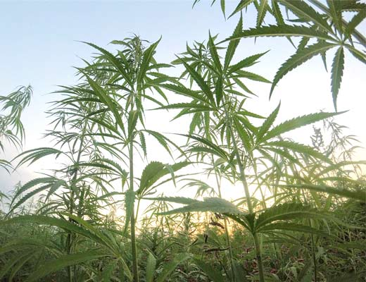 Hemp plants rich with CBD phytocannabinoids