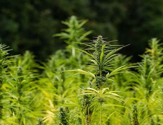 Hemp Plant field