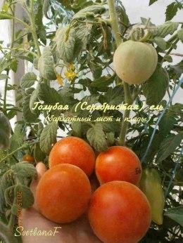 томат Голубая (Серебристая, Бархатная) ель