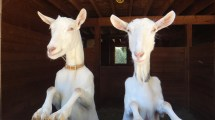 This is where milk comes from. My friend and Neighbours goats.