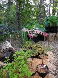 Toona trees (chop sued tree), edible hosta's