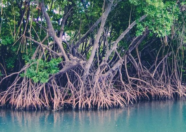 árbol mangle