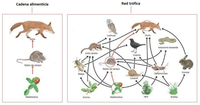 ejemplo cadena alimenticia y red trofica