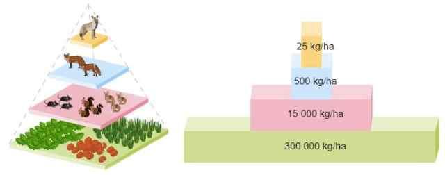 ejemplo pirámide biomasa terrestre