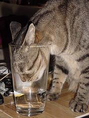 gato bebiendo agua