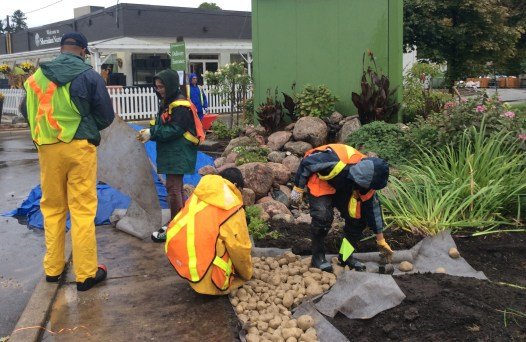 Laying rock at the entrance of the rain garden.