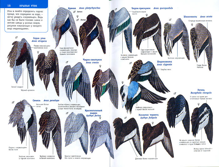 дорога будет как узнать породу птицы по фотографии учит беречь членов