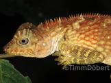 Borneo forest dragon (Gonocephalus bornensis)