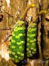 Lantern bug (Pyrops sidereus)