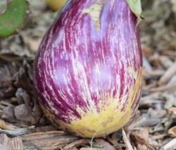 eggplant-996610_1920