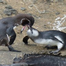 21sci-penguins-promo-master768