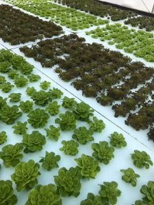 Hydroponic Lettuce Farm Fellsmere Florida, near Vero Beach.