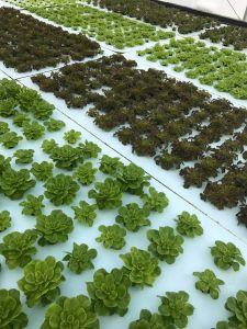 Hydroponic Lettuce Farm Fellsmere Florida, near Vero Beach.