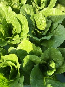 Locally Grown Lettuce Farm Fellsmere Florida, near Vero Beach.
