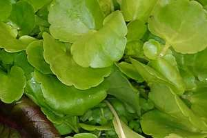 Featured Greens: Watercress