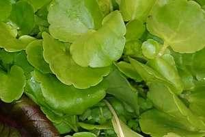 Watercress-hydroponic lettuce locally grown in Fellsmere, FL