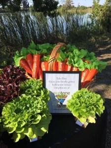 Hydroponic Lettuce From Ecotone Farm Fellsmere, Florida