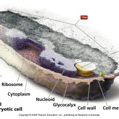 Microbiology Prokaryotic Cell Diagram Labeled How To Draw Deployment In Staruml Chapter 2 Microscopy Basics And An Introduction Cells