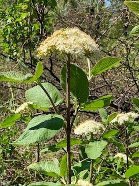 Viorne lantane, Viburnum lantana, fleurs