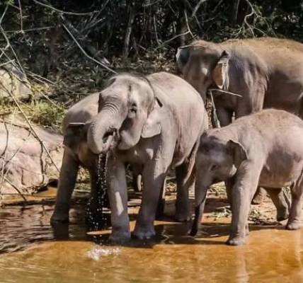 © Eric Ganz Elefantes en Chiang Mai, en Tailandia.