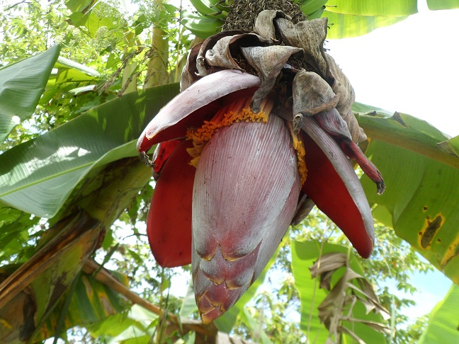Banana_Arabya_blossom