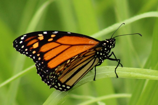 IMG_2252 monarch butterfly side (cropped)