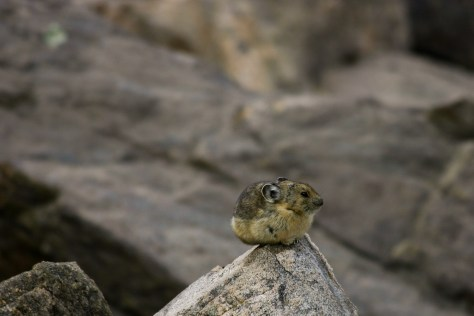 American pika in Indian Peaks Wilderness, Colorado