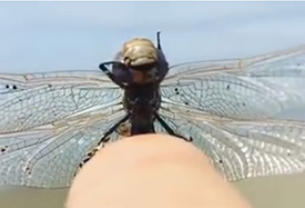 Dragonfly cleans itself on a fingertip