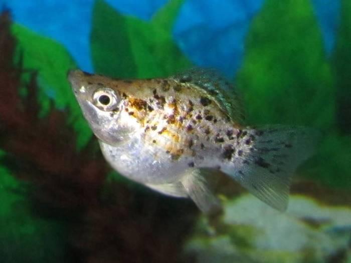 Ikan Hias Air Tawar - Ikan Molly
