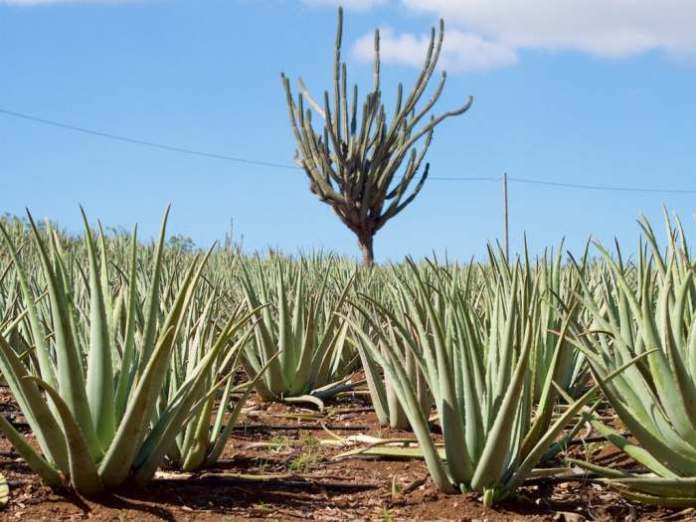 Aloe vera center - Wisata di Pontianak