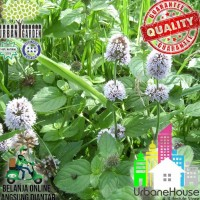 Nomor 1 Herbs - Benih Wild Water Mint Import Uk Water Mint Seed Bibit