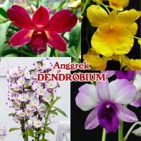 Bibit Bunga Anggrek Dendrobium