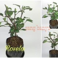 Bibit tanaman rosela rosella herbal toga