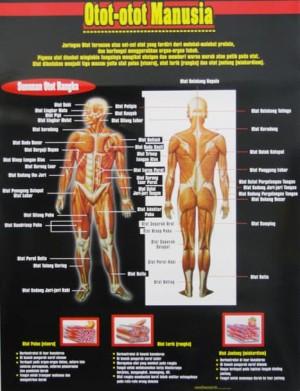 Otot Manusia : manusia, Carta, (Poster), Otot-Otot, Manusia, Jakarta, Barat, Pensil, Tulisku, Tokopedia