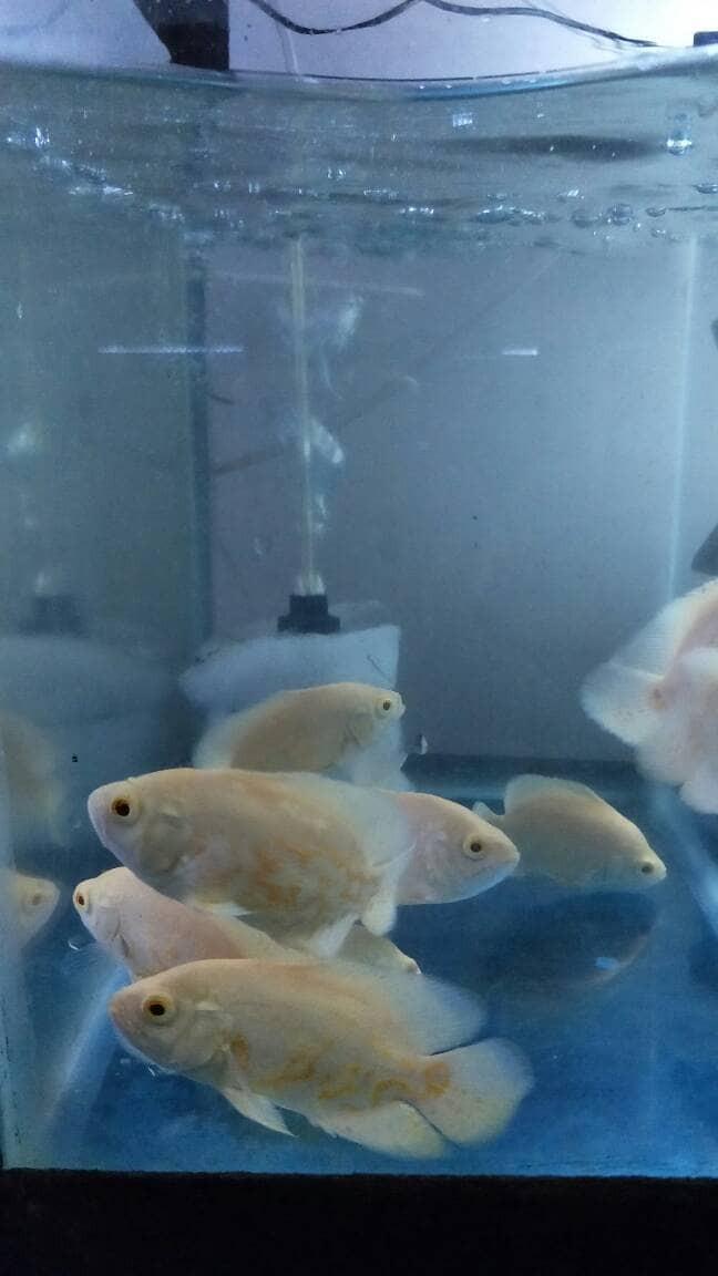 Jual Ikan Oscar Besar : oscar, besar, Gambar, Oscar, Albino, Terbaik, Pixabay