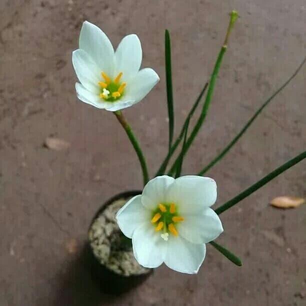 Jual Tanaman Hias Bunga Lili Air Hujan Kab Bogor Cahaya Pesona Flowers Tokopedia