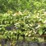 Jual Bibit Tanaman Buah Matoa Rambutan Irian Papua