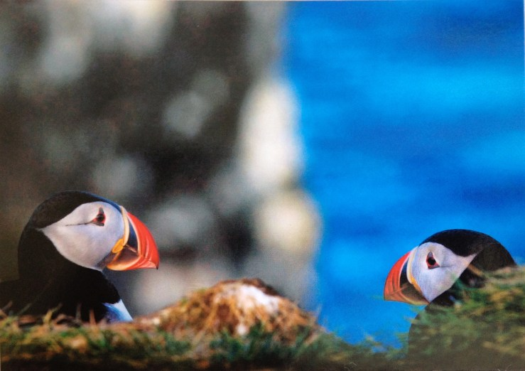 Postcard of two puffins regarding each other