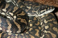 How Big Does A Coastal Carpet Python Grow - Carpet Vidalondon