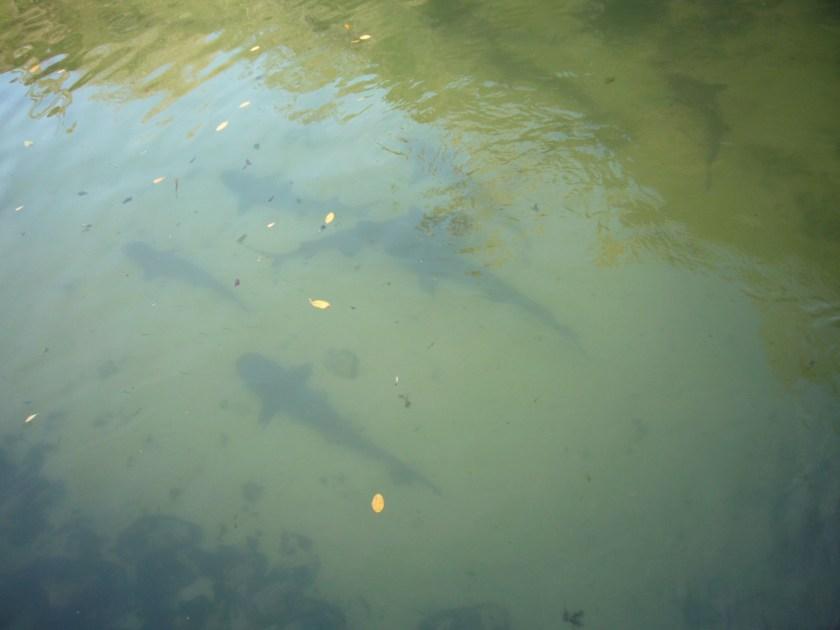 Tiburones en las islas Galápagos.