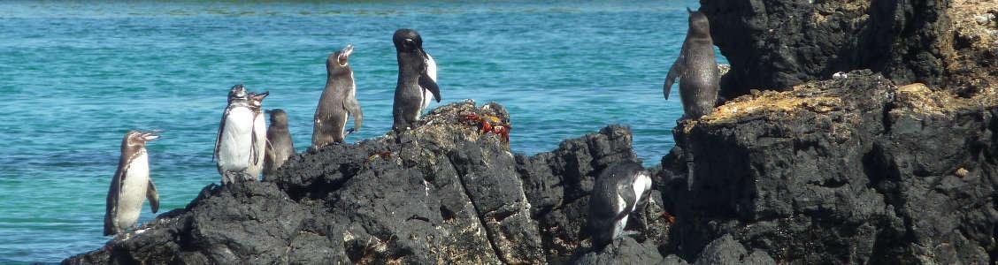 Pingüinos en las islas Galápagos.